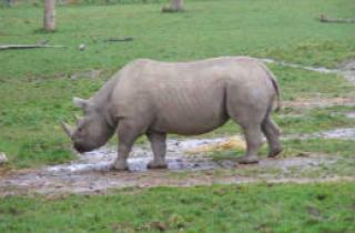 Two rare Black Rhino's arrive in Pembrokeshire