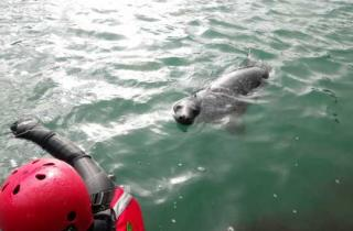 Seals in the sea in Pembrokeshire