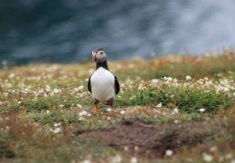 Puffin resting on the island in Pembrokeshire